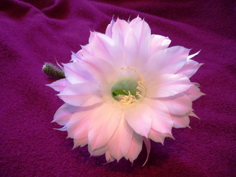 Photo Цветок кактуса.