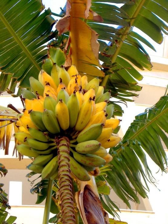 Бананы на пальме своими руками